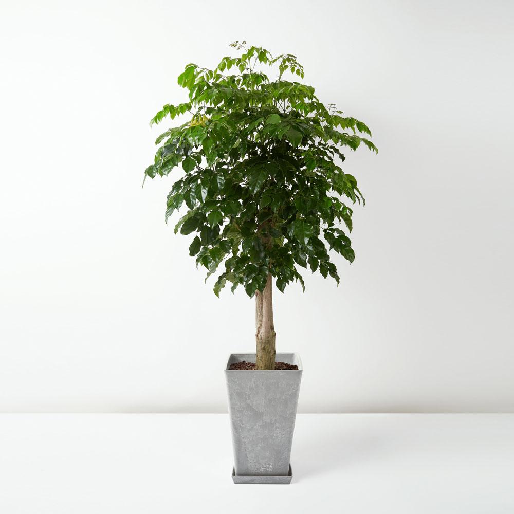 flora-houses-Radermachera-hainanensis-Merr-sapling-grey-sq-1