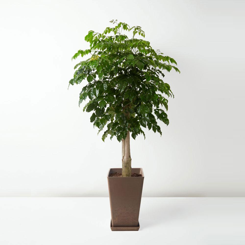 flora-houses-Radermachera-hainanensis-Merr-sapling-brown-sq-1