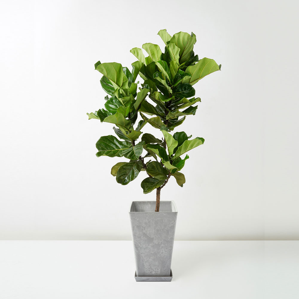 flora-houses-Fiddle-Leaf-Fig-grey-sq-1