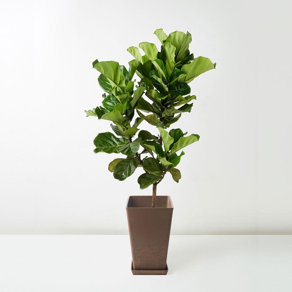 flora-houses-Fiddle-Leaf-Fig-brown-sq-1