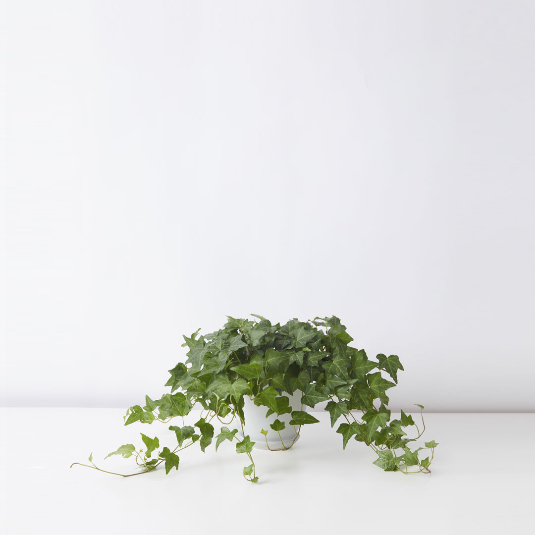 flora-houses-table-Ivy-white-sq-1